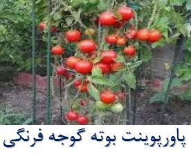 پاورپوینت بوته گوجه فرنگی