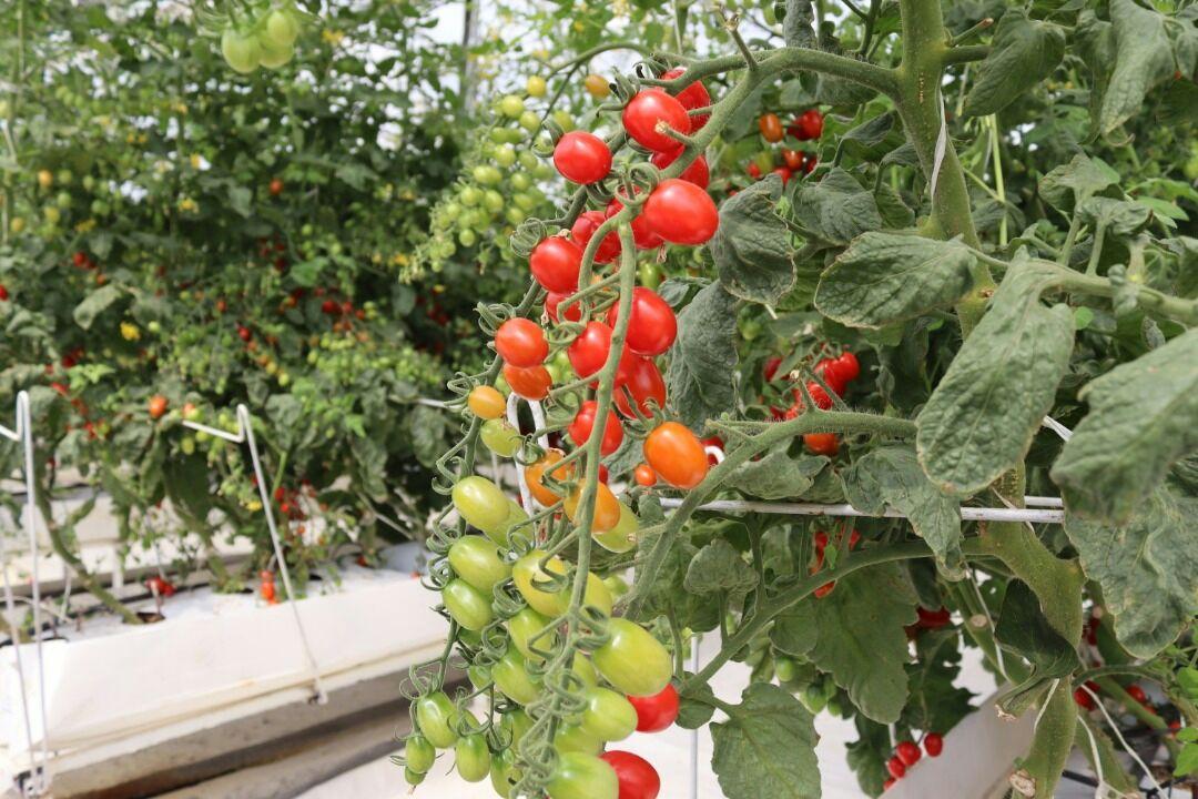 بزرگترین گلخانه هیدروپونیک اسلام آبادغرب ۵۰ درصد پیشرفت دارد